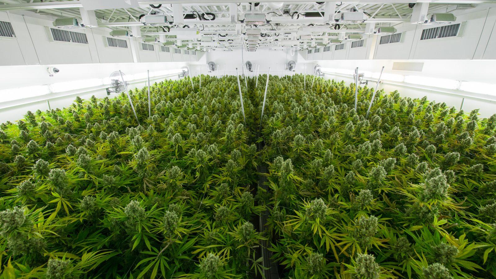 cannabis-supply-chain